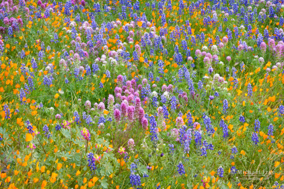 Wildflower mix—poppies, lupine, harlequin lupine, and owl's clover, near El Portal, CA, USA