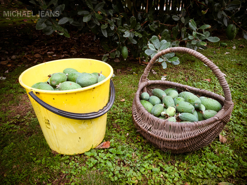 2012 Feijoa harvest - two small trees - six buckets so far!