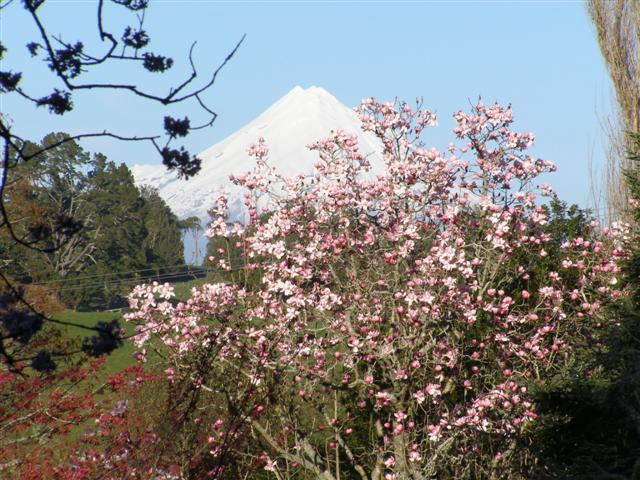 M.campbellii and Mount Taranaki at Tikorangi
