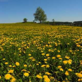 Dandelion Field During Allergy Season