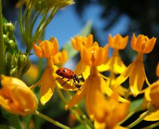 Ladybug on Yellow Spring Flowers