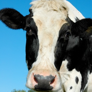 Dairy, Cow's Milk