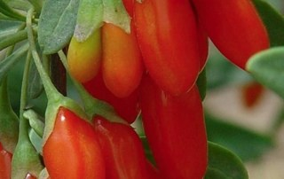 Growing Your Own Goji Berries