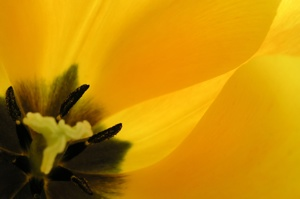 Tulip Up Close