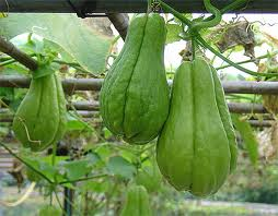 Chayote on the vine