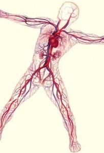 circulatory2