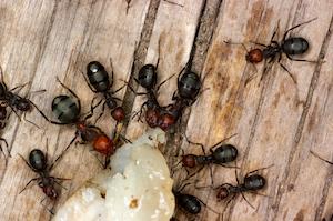 Swarm of Fire Ants