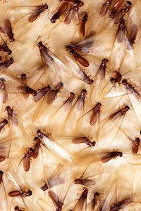 Termite Problem