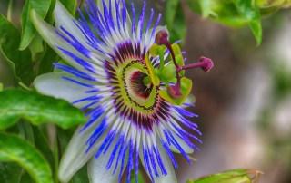 Flower Passionflower Violet Sun  - selenee51 / Pixabay