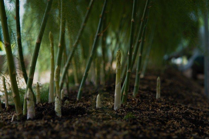 Asparagus Plants Field Vegetable