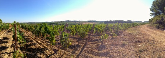 vineyard panorama