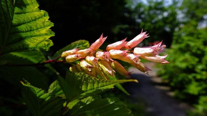 Neillia sinensis[1]