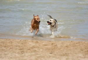 One dog bites another dog when two unleashed dogs run on a beach.