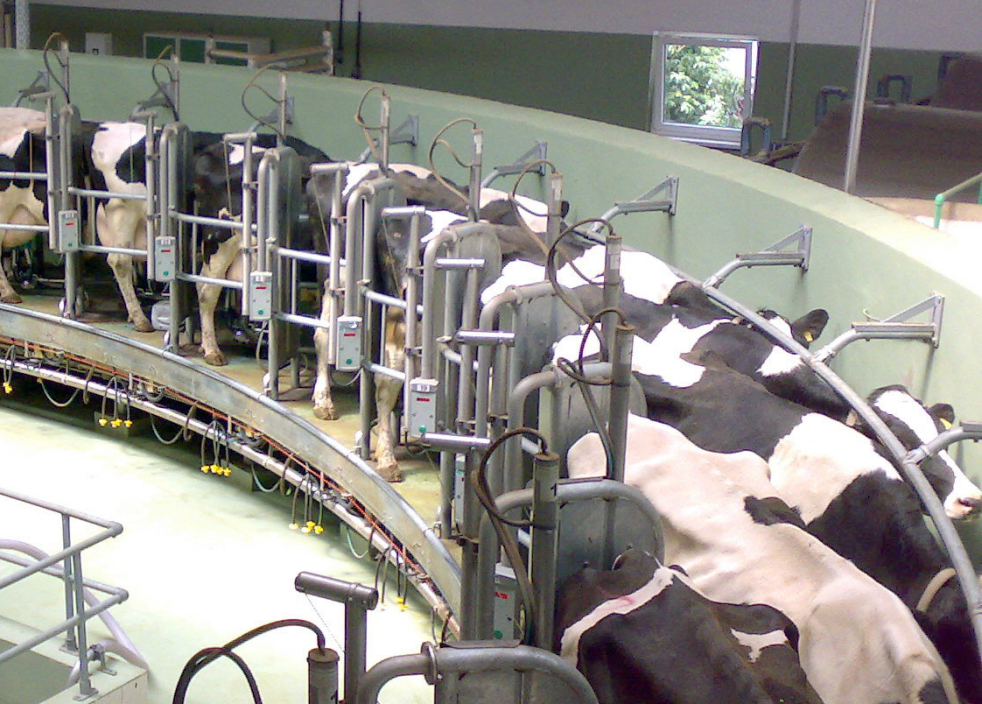 Cows hooked up to an automated milking machine