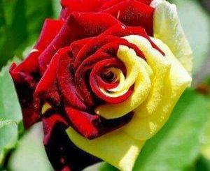 rosa a due colori