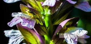"""Fiche NATURE : FLORE : découvrir le """"les feuilles d'ACANTHE"""" - www.michelhugues.com"""