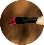 le bec rouge avec excroissance supérieure du male Tadorne de Belon - copyright MH - www.michelhugues.com