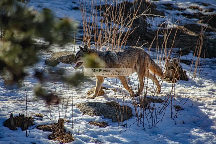 En réalité, désormais les Loups seraient bien plus nombreux que les prévisions les plus alarmistes le laissent entendre . Copyright Michel HUGUES - Michel HUGUES PHOTOGRAPHY - www.michelhugues.com
