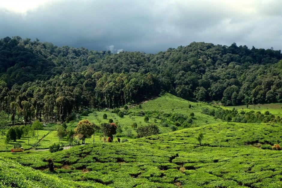 Tea garden valley