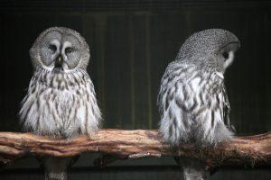 owl-couple