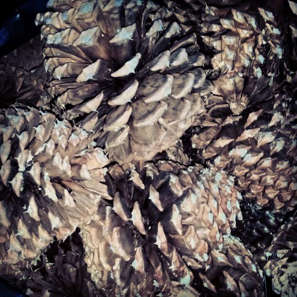Harvesting Pinecones #laketahoe #California #travel #photography
