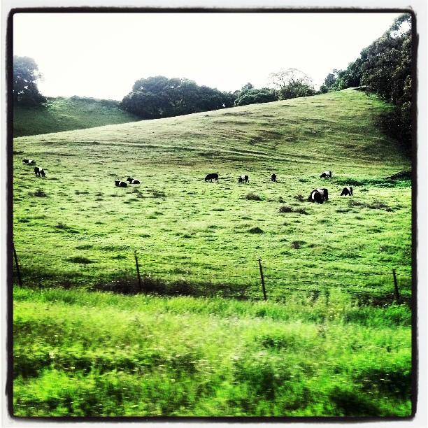 Oreo Cows #photography #California #travel #farm #awesome #napa