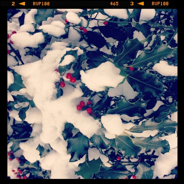 Snow covered holly berries #snowscape #winter #hercules #holiday #decoration