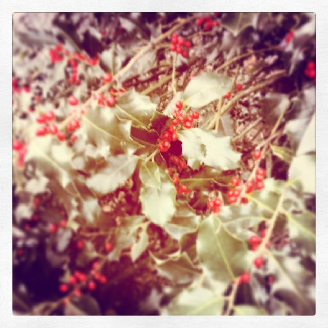 Holly berries #winter #holidays #decoration #christmas #newyears