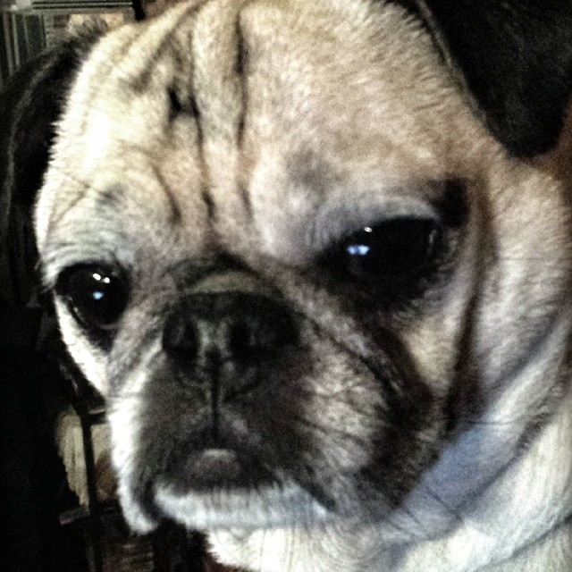 Tallulah does not approve !  #pugsofinstagram #dogs #asmp #pets #cute #mascot
