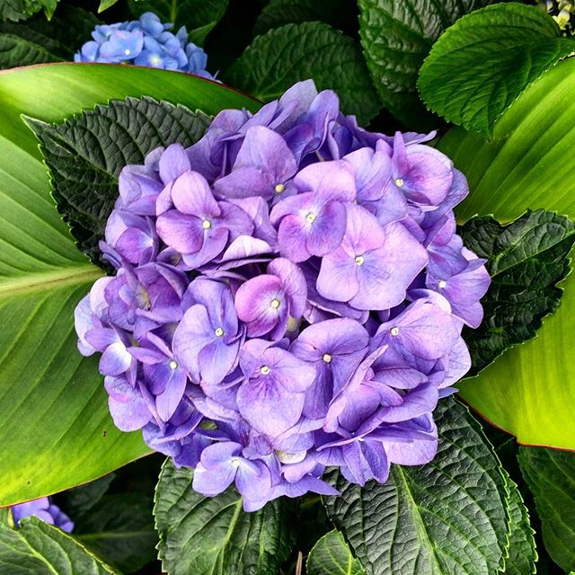 #Hydragena outside my building #nofilter #flowers #floral #hellosummer #washingtonheightsny