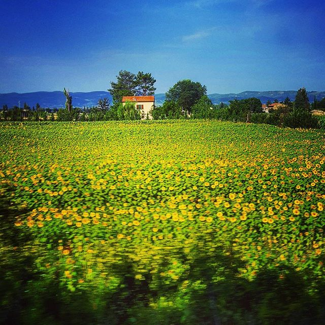 Sunflowers, from the Jazz Train, somewhere outside Assisi Italy #assisi #chebellaumbria #italy #girasole #sunflowers #umbria #dovessiamo #jazztrain