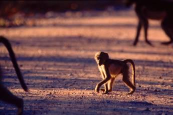 mp-mam-primat-002-13