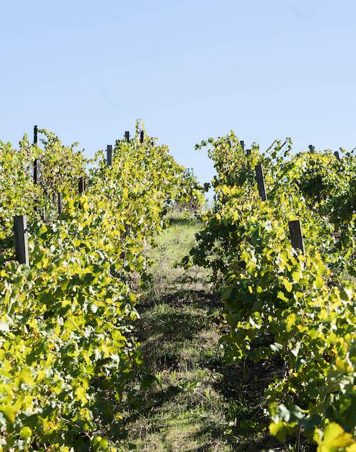 Dry Creek Valley Vineyard