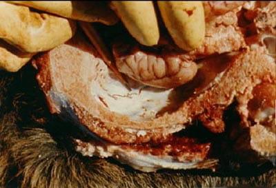 Brainworm in an infected deer
