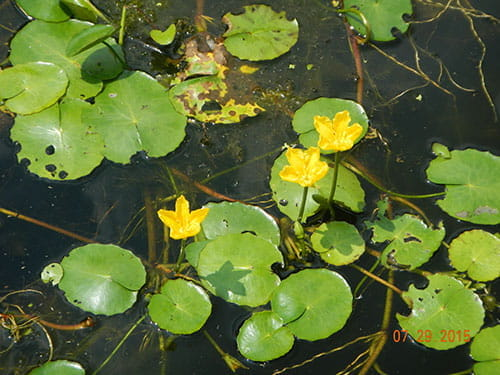Aquatic Water Plants