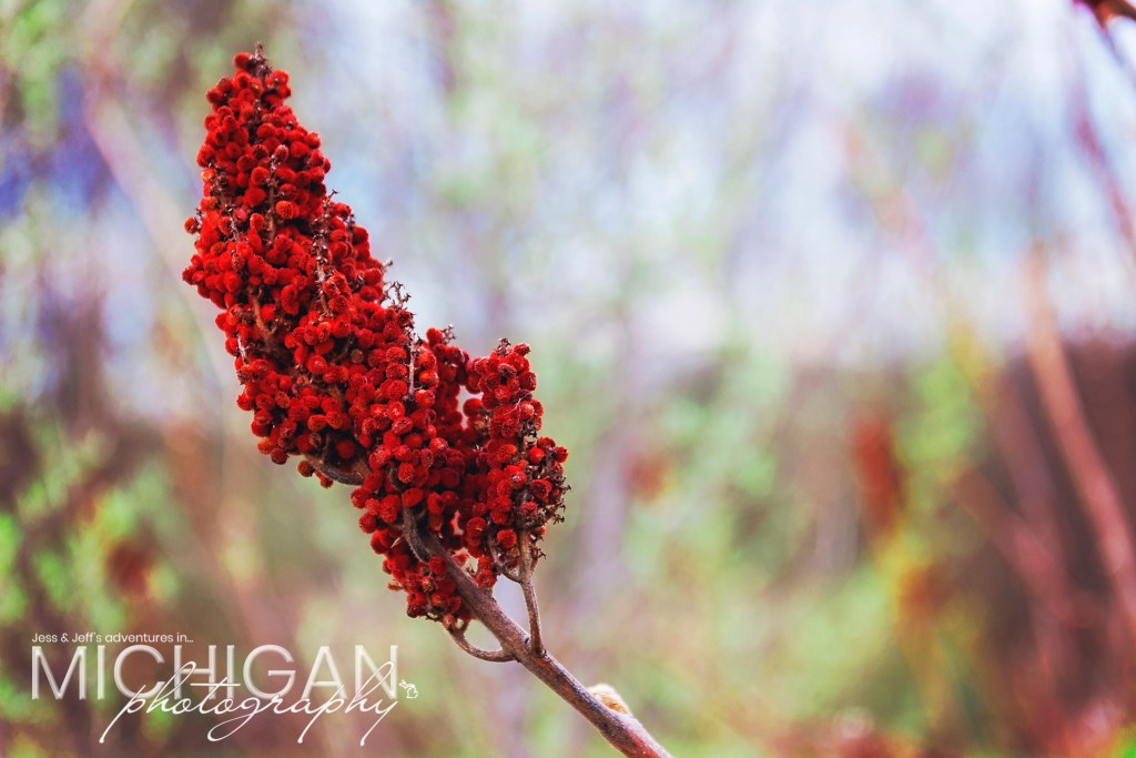 """A Sumac """"flower"""" on the Losee Lake Trail in Pinckney State Rec Area"""