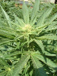 marijuana-plant-52691-m