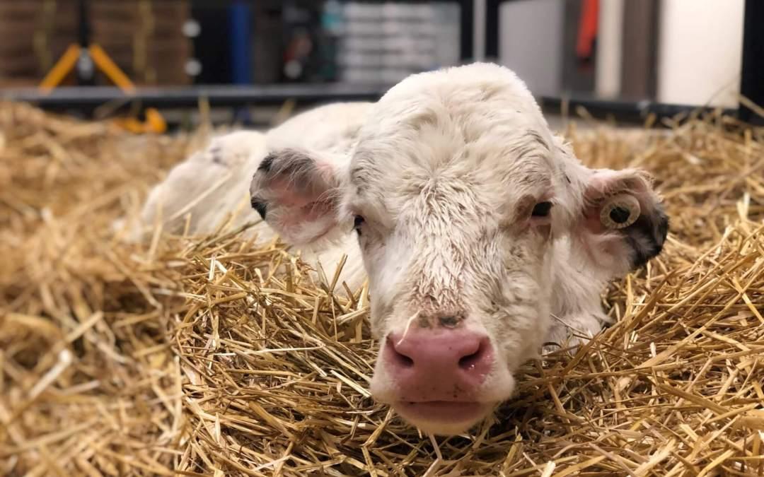 Michigan Humane Saves Baby Calves