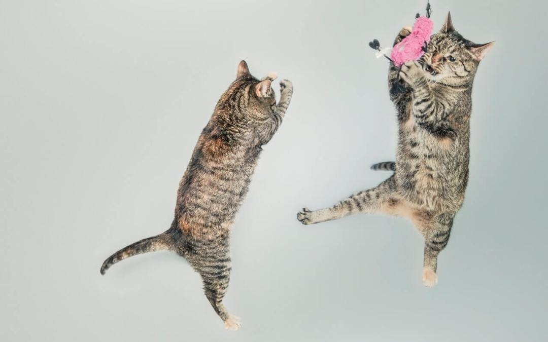 Two cats playing with a toy.
