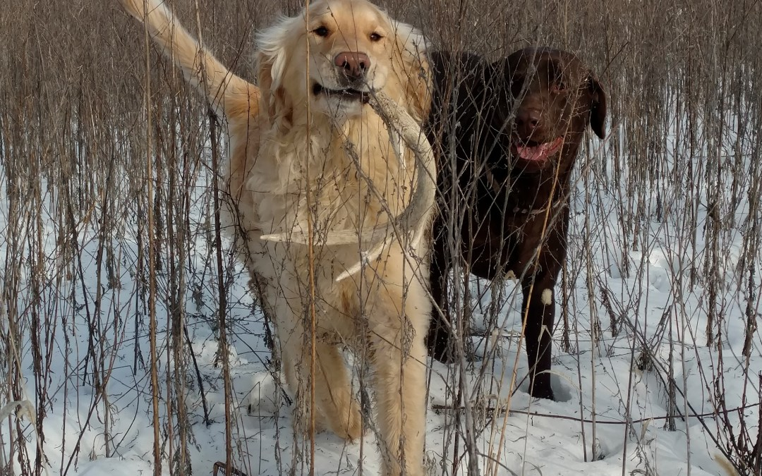 The Basics of Shed Hunting with a Dog