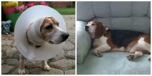 Murphy with his cone, and after recovery