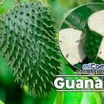 Propiedades Curativas Y Medicinales De La Guanábana