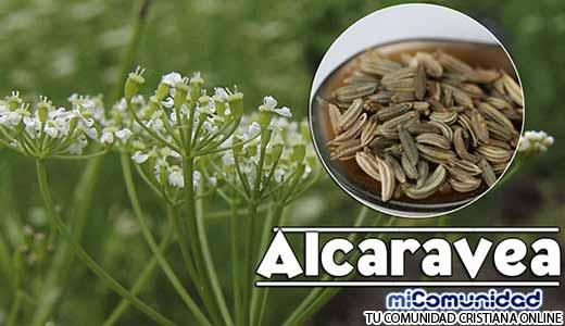 Propiedades Curativas Y Medicinales De La Alcaravea