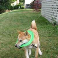 25 fotos que muestran que a los Perros Shiba les encanta atorarse en todos lados.