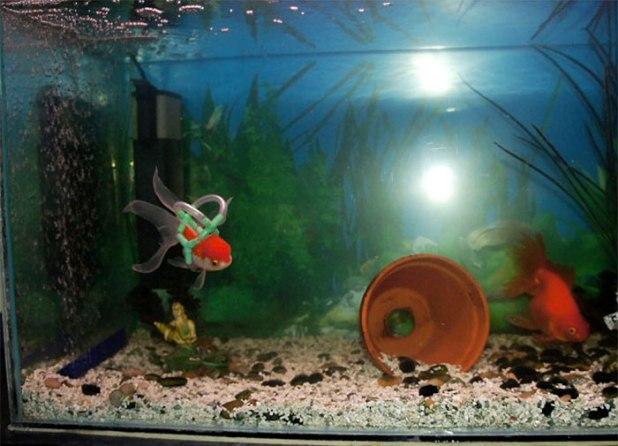 Este pez dorado no podía nadar, así que su dueño construyó una especie de silla de ruedas flotante