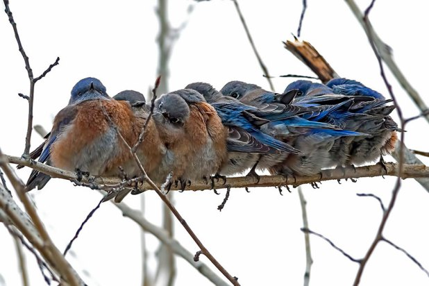 birds-keep-warm-bird-huddles-11__880