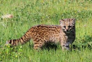 felinos-salvajes-inusuales-12