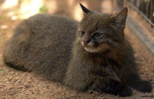 felinos-salvajes-inusuales-14