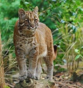 felinos-salvajes-inusuales-15