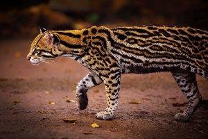 felinos-salvajes-inusuales-18